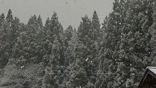 冬,森林,木,雪,屋外,森,白,樹木,草木,クリスマス ツリー
