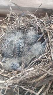 動物,鳥,屋外,クモ,雛,干し草