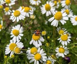 Ladybugs were perching on chamomile flowersの写真・画像素材[4916760]