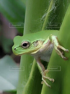 A tree frog has arrived in a cornfieldの写真・画像素材[4916836]