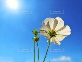 Cosmos swaying in the blue skyの写真・画像素材[4919991]