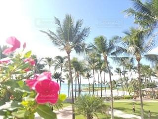 空,花,屋外,ビーチ,樹木,旅行,ヤシの木,ハワイ,グアム,オアフ島,草木,パーム