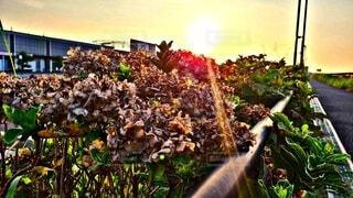 空,秋,屋外,朝日,オレンジ,美しい,朝焼け,紫陽花,朝,草木,1日の始まり,季節の変わり目,枯れた紫陽花,夏から秋,コロナに負けない,懸命な姿