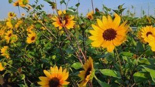 花,夏,屋外,ひまわり,黄色,夏空,草木,コロナに負けない,満開に咲く