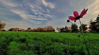 自然,風景,空,花,秋,屋外,緑,コスモス,雲,アート,景色,草,新緑,癒し,絵画,ナチュラル,コスモス畑,夕空,奥行き,秋空,バランス,コロナに負けない,広大さ