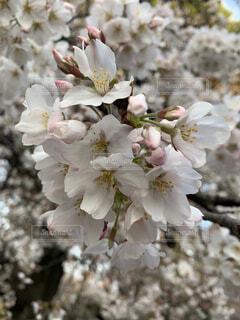自然,花,春,桜,屋外,ピンク,景色,新学期,春休み