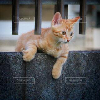 猫,動物,オレンジ