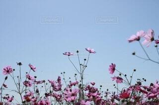 自然,空,花,秋,屋外,コスモス,秋桜,景観,草木