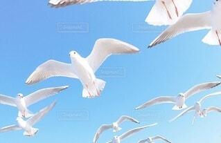 空,動物,鳥,屋外,白,青,飛ぶ,スワン,翼,水鳥,海鳥