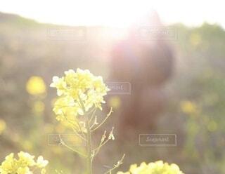 花,春,黄色,菜の花,光,草木