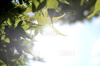 自然,木,緑,綺麗,もみじ,光,樹木,後光,草木