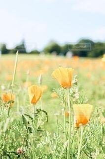 自然,花,緑,オレンジ,草,ポピー,草木