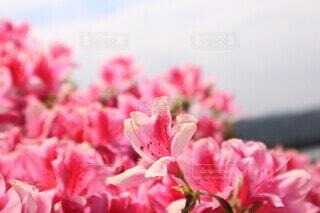 空,花,ピンク,赤,景色,ツツジ,草木,フォトジェニック,ブルーム,ブロッサム