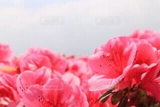 空,花,ピンク,赤,景色,ツツジ,草木,フォトジェニック