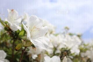 花,白,ツツジ,ホワイト,草木,フォトジェニック