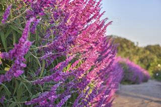 ラベンダーの花畑の写真・画像素材[4923519]