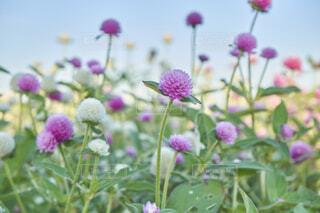 紫詰草と白詰草の写真・画像素材[4923517]