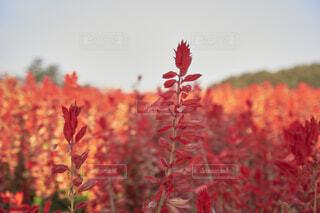 サルビアの花畑の写真・画像素材[4923516]