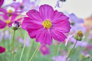 コスモスの花畑の写真・画像素材[4923518]