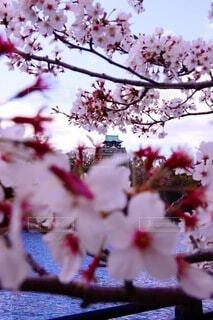 空,花,桜,ピンク,城,樹木,桃色,草木,さくら,ブロッサム,日本の城