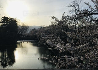 自然,空,夕日,桜,屋外,湖,川,水面,夕方,城,樹木,河,夕陽,松本城,堀,草木,さくら