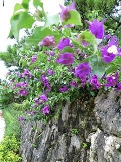 花,屋外,紫,壁,草木,ガーデン,フローラ