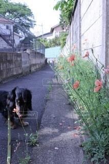 散歩中の犬の写真・画像素材[4806156]