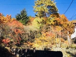 自然,風景,空,秋,温泉,紅葉,森林,屋外,もみじ,草,樹木,旅館,風呂,群馬,草津,草木,テキスト,カエデ