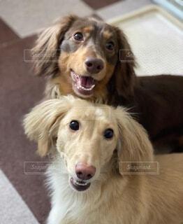 犬,動物,屋内,茶色,イエロー,ミニチュアダックス,タン