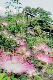自然,花,屋外,ピンク,きれい,草木,ねむの木,カリアンドラ