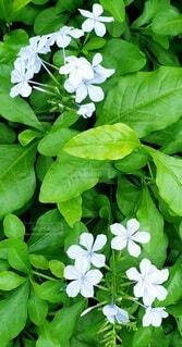 花,屋外,かわいい,きれい,葉,景色,白い花,シンプル,草木,ガーデン,フローラ