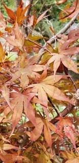 自然,秋,紅葉,屋外,赤,葉,樹木,草木