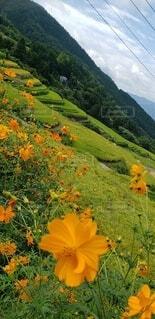 自然,花,秋,屋外,緑,棚田,景色,オレンジ,田んぼ