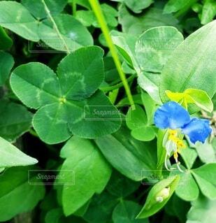 花,屋外,緑,葉,新緑,クローバー,幸せ,四つ葉,草木,ガーデン,ツユクサ,フローラ