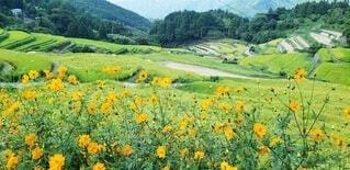 自然,花,屋外,ひまわり,黄色,棚田,山,景色,オレンジ,草,新緑,田んぼ,草木,山腹,ワイルドフラワー,広葉