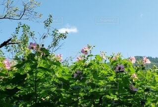 空,花,屋外,ピンク,緑,雲,青空,草木
