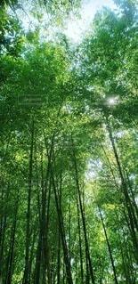 森林,木,屋外,緑,木漏れ日,樹木,竹,竹林,草木