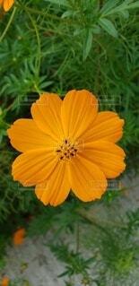 花,屋外,コスモス,きれい,オレンジ,草木,コスモス尾状