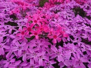 花,屋外,紫,芝桜,草木,フローラ