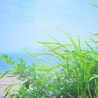 海,空,花,夏,屋外,植物,ビーチ,青,海辺,水面,草,浜辺,風,野草,直島,草木,野花