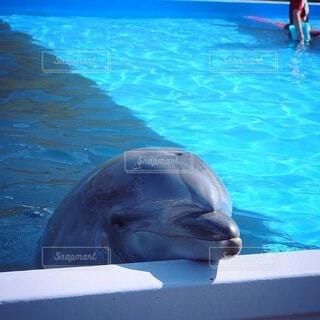 動物,イルカ,プール,青,水族館,水面,泳ぐ,癒し,可愛い,海獣,バンドウイルカ,スイミング プール,ハンドウイルカ