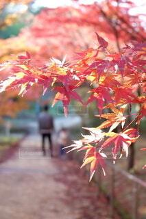 紅葉の中を散策する親子のシルエットと鮮やかなもみじの写真・画像素材[4814434]