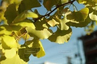 空,花,秋,葉,樹木,イチョウ,草木