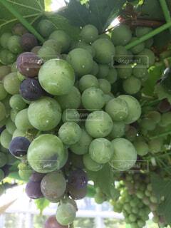 食べ物,自然,緑,紫,果物,みずみずしい,ブドウ,種なしの果実