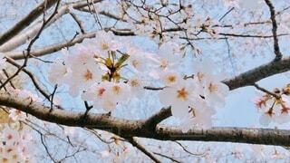 空,花,春,木,屋外,枝,樹木,桜の花,さくら,ブルーム,ブロッサム