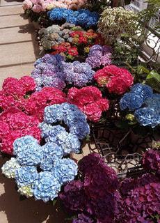 風景,花,庭,屋外,あじさい,バラ,薔薇
