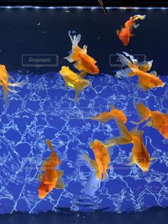 夏,魚,幻想的,水族館,オレンジ,金魚