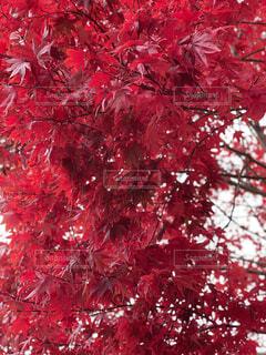 秋,紅葉,赤,綺麗,恋しい