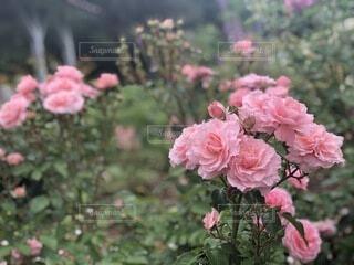 自然,花,屋外,ピンク,バラ,花びら,お花,ローズ,草木