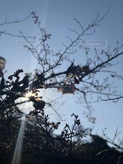 自然,風景,空,花,屋外,太陽,枝,光,樹木,逆光,無加工,草木,エモい